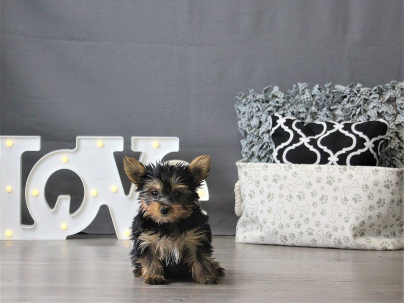 Yorkshire Terrier-DOG-Male-Black / Tan-3099043-Petland Carriage Place