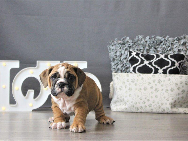 Bulldog-DOG-Female-Red-3099033-Petland Carriage Place