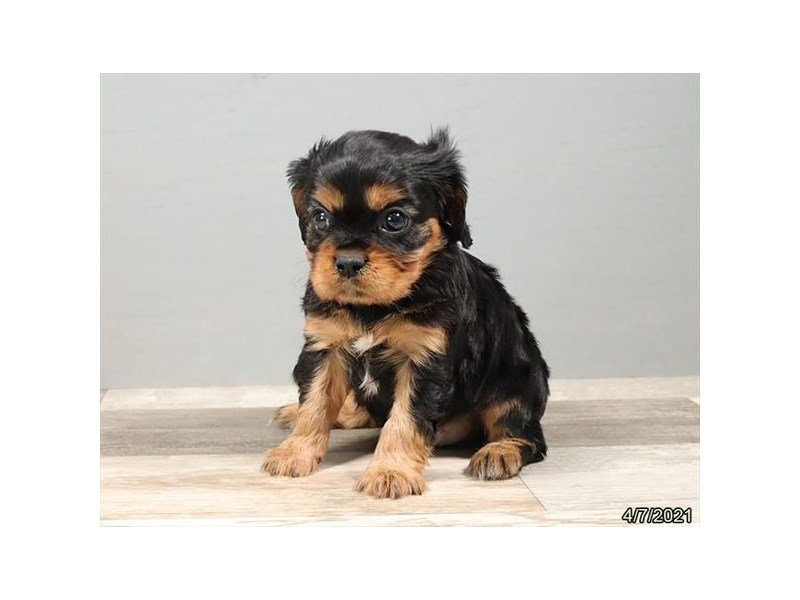 Cavalier King Charles Spaniel-DOG-Male-Black / Tan-3110118-Petland Carriage Place