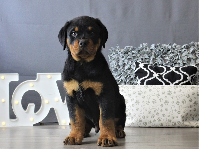 Rottweiler-DOG-Male-Black / Tan-3110099-Petland Carriage Place