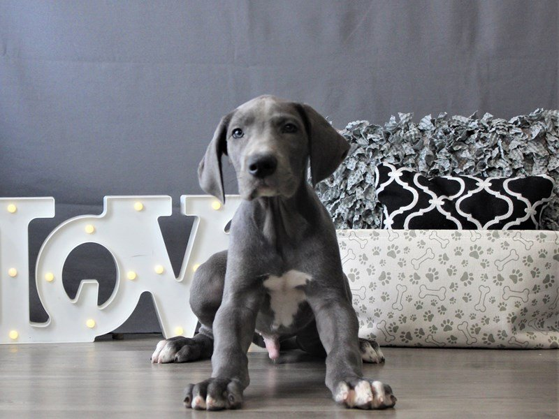 Great Dane-DOG-Male-Blue-3110092-Petland Carriage Place