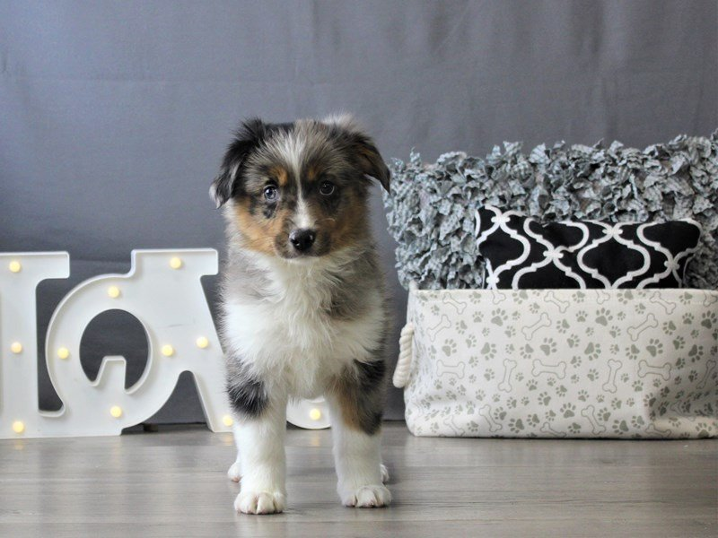 Miniature American Shepherd-DOG-Female-Blue Merle-3110085-Petland Carriage Place