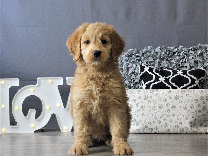 Goldendoodle-DOG-Female-Golden-3110122-Petland Carriage Place