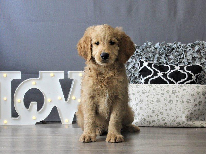 Goldendoodle-DOG-Male-Golden-3110124-Petland Carriage Place