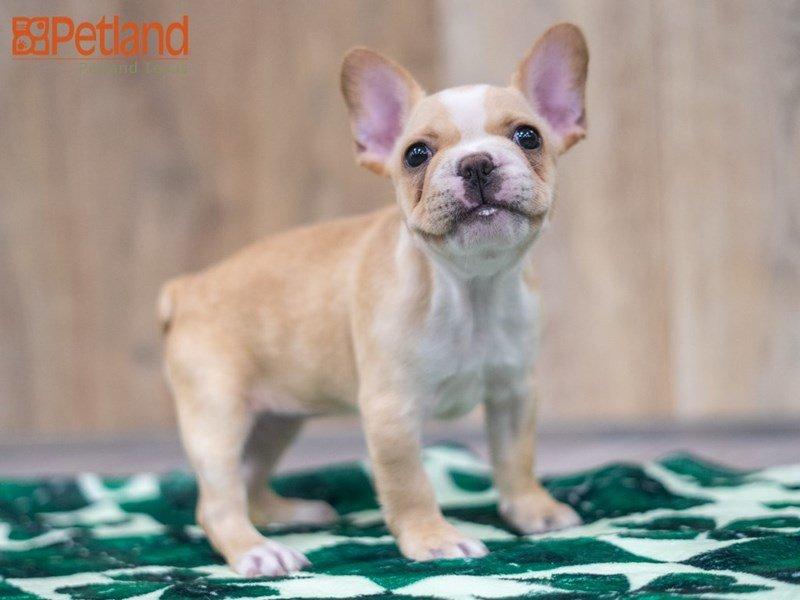French Bulldog-DOG-Female-Cream-3040621-Petland Carriage Place