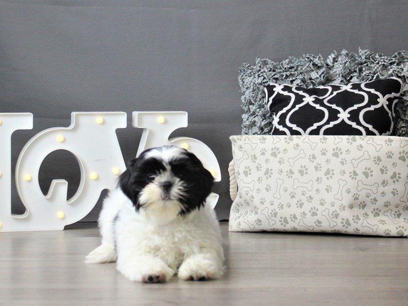 Shih Tzu-DOG-Male-Black / White-3066439-Petland Carriage Place
