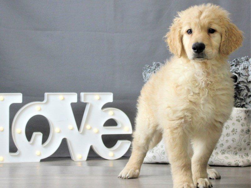 Golden Retriever-DOG-Male-Golden-3066447-Petland Carriage Place