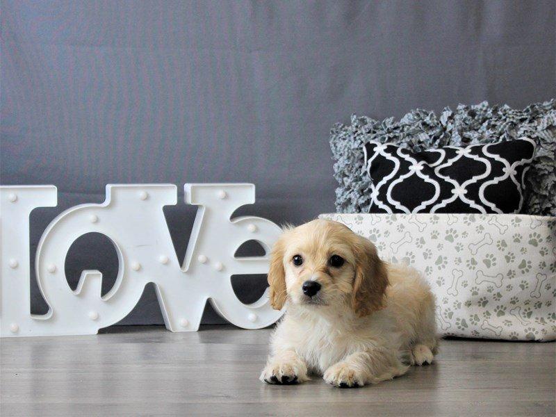Cavachon-DOG-Female-Apricot-3077086-Petland Carriage Place