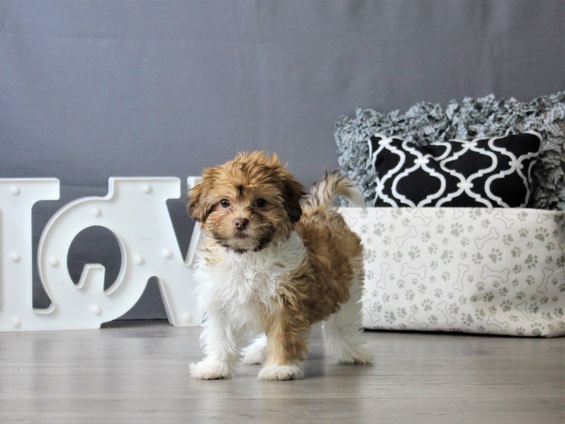 Shihpoo-Female-Red Sable/ White-3076975-Petland Carriage Place