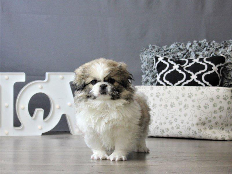 Pekingese-DOG-Male-Sable / White-3076966-Petland Carriage Place