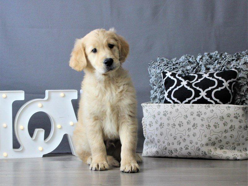 Golden Retriever-DOG-Male-Golden-3076956-Petland Carriage Place