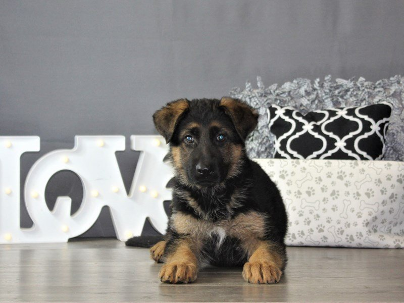 German Shepherd Dog-DOG-Male-Black / Red-3087806-Petland Carriage Place