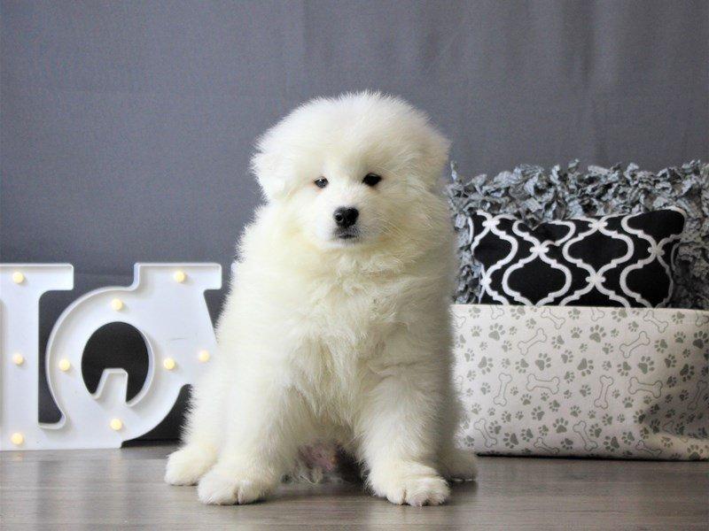 Samoyed-DOG-Male-White-3087955-Petland Carriage Place