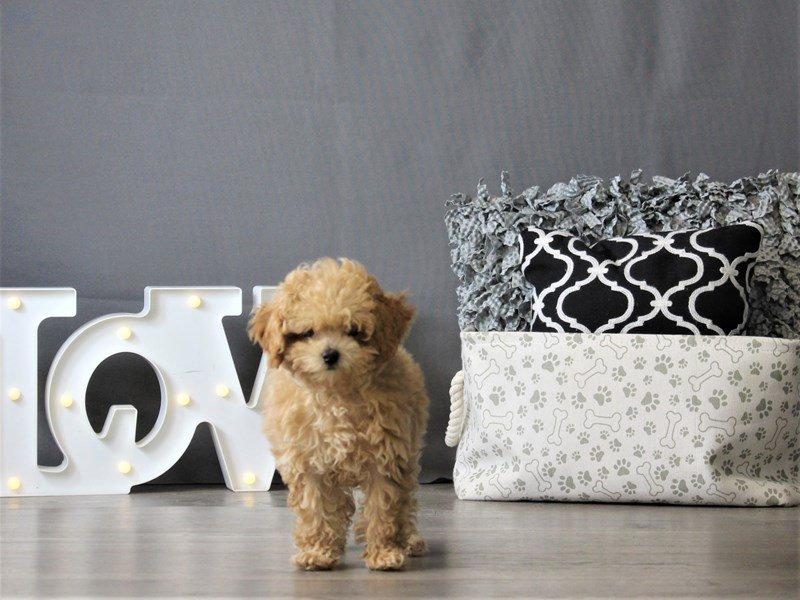 Poodle-DOG-Male-Apricot-3087960-Petland Carriage Place