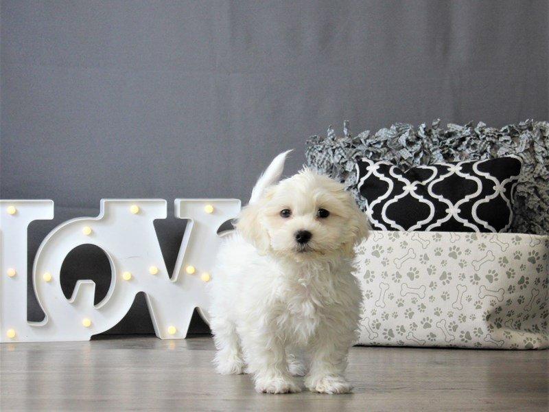 Coton De Tulear-DOG-Male-White-3087792-Petland Carriage Place