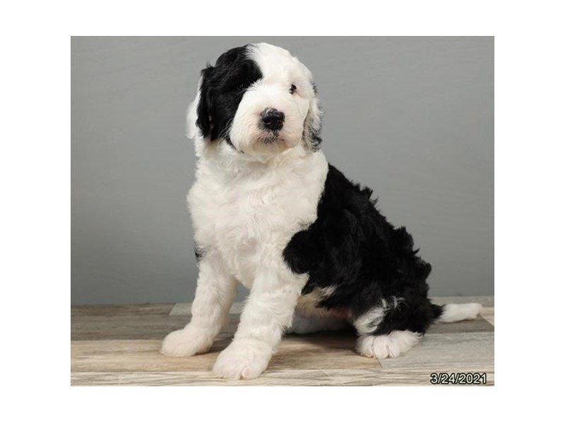 Old English Sheepdog/Poodle-DOG-Female-Black / White-3099122-Petland Carriage Place