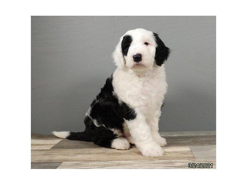 Old English Sheepdog/Poodle-Male-Black / White-3099125-Petland Carriage Place