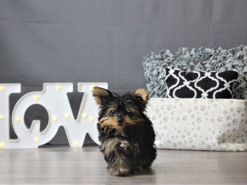 Yorkshire Terrier-DOG-Female-Black / Gold-3099037-Petland Carriage Place