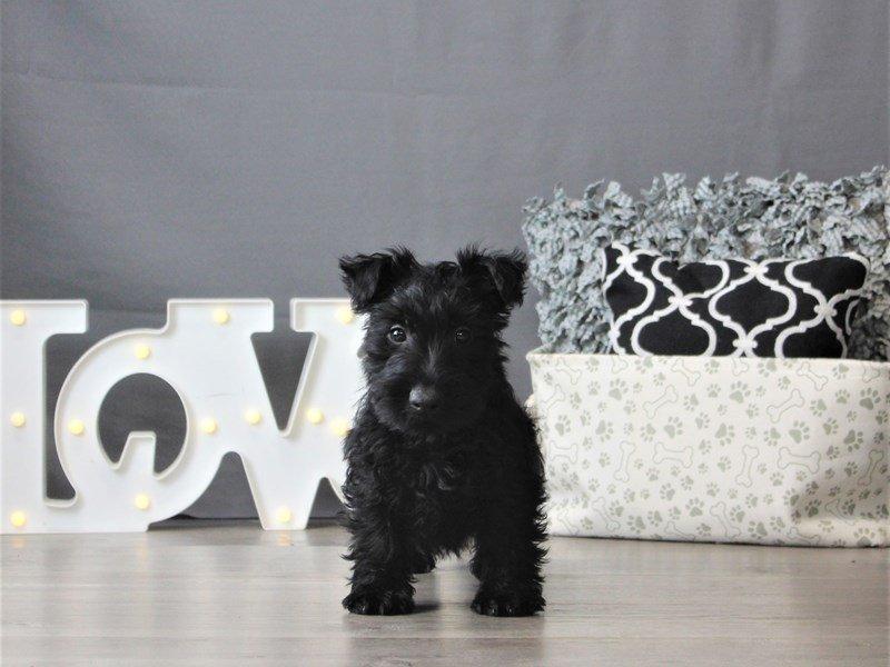 Scottish Terrier-Male-Black-3099027-Petland Carriage Place