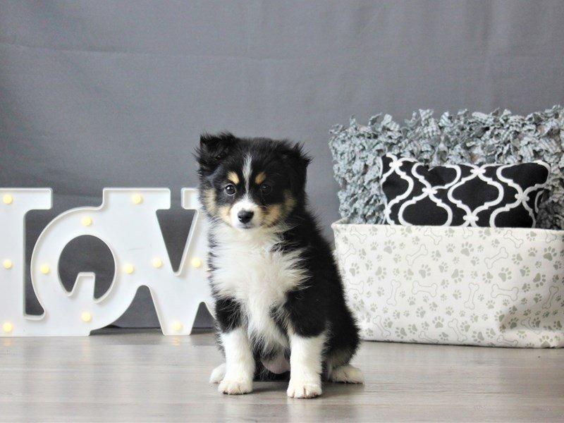 Miniature Australian Shepherd-DOG-Female-Black Tan / White-3099040-Petland Carriage Place