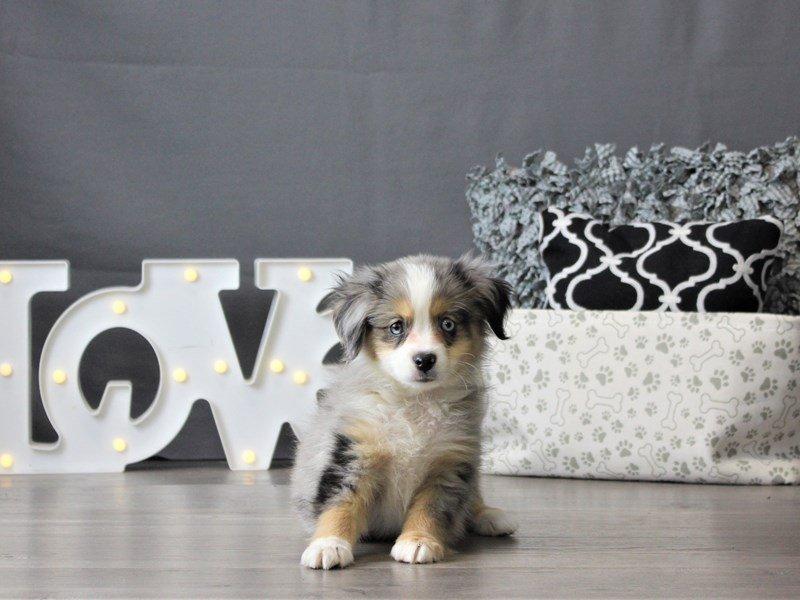 Miniature Australian Shepherd-DOG-Male-Blue Merle-3099041-Petland Carriage Place