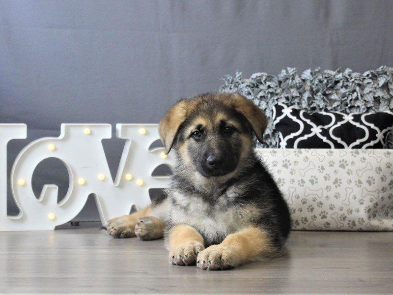 German Shepherd Dog-DOG-Male-Black / Tan-3110098-Petland Carriage Place