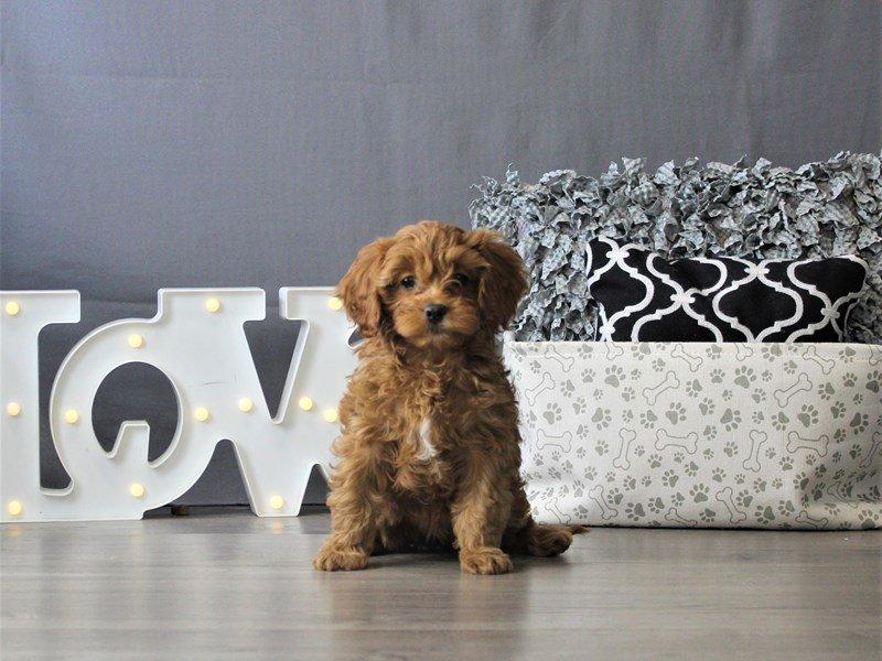 Cavalier King/Poodle-DOG-Female-Ruby-3110157-Petland Carriage Place