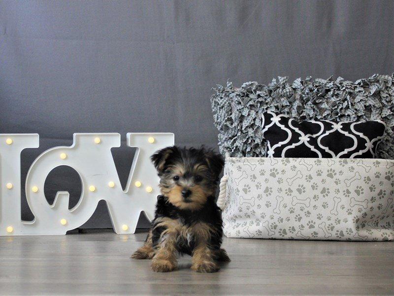 Yorkshire Terrier-DOG-Female-Black / Tan-3110115-Petland Carriage Place