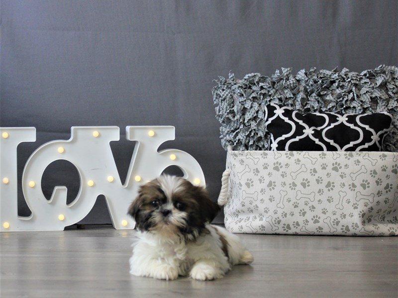 Shih Tzu-DOG-Female-Sable/ White-3110082-Petland Carriage Place