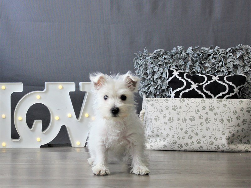 West Highland White Terrier-DOG-Female-White-3110090-Petland Carriage Place