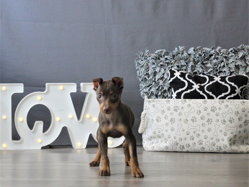 Miniature Pinscher-DOG-Female-Chocolate and Tan-3110096-Petland Carriage Place