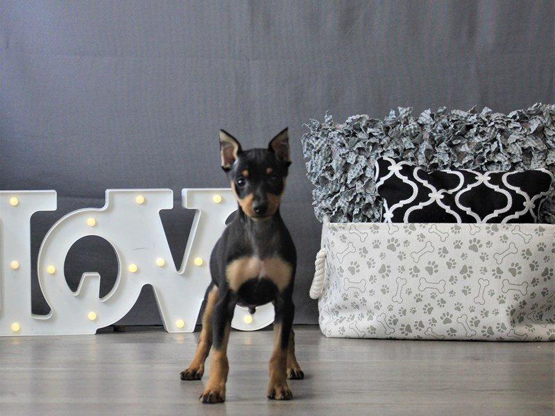 Miniature Pinscher-DOG-Male-Black / Tan-3110097-Petland Carriage Place