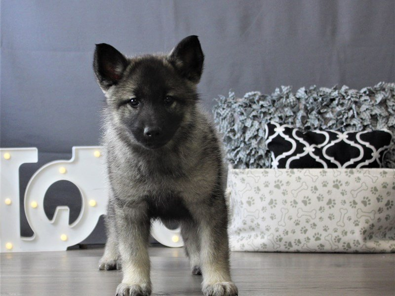Norwegian Elkhound-DOG-Male-Black / Silver-3110094-Petland Carriage Place
