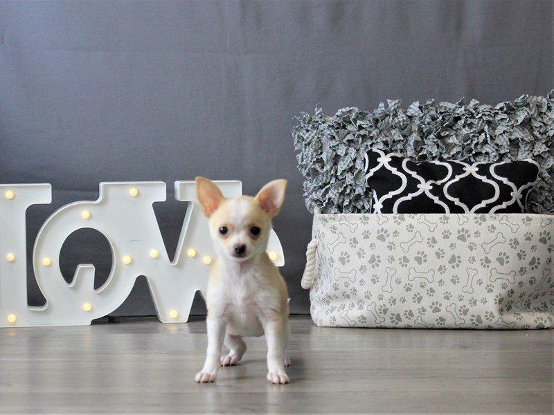 Chihuahua-DOG-Female-Fawn-3110101-Petland Carriage Place