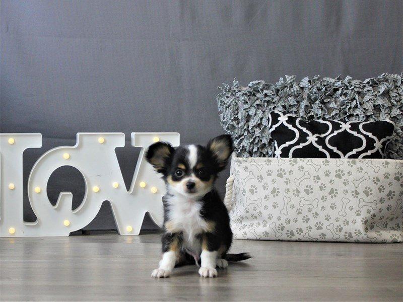 Chihuahua-DOG-Male-Black Tan / White-3110102-Petland Carriage Place