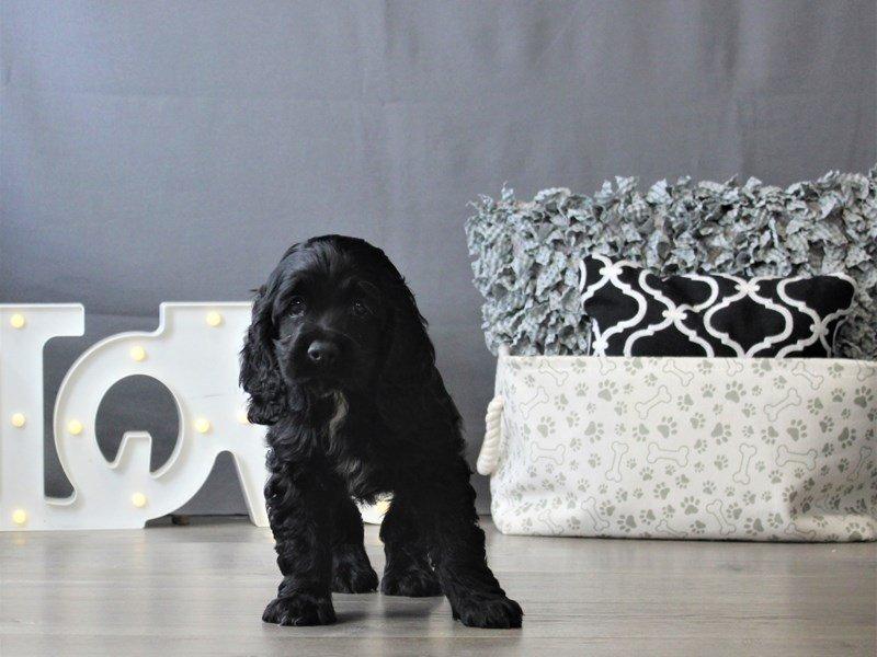 Cocker Spaniel-DOG-Female-Black-3110117-Petland Carriage Place