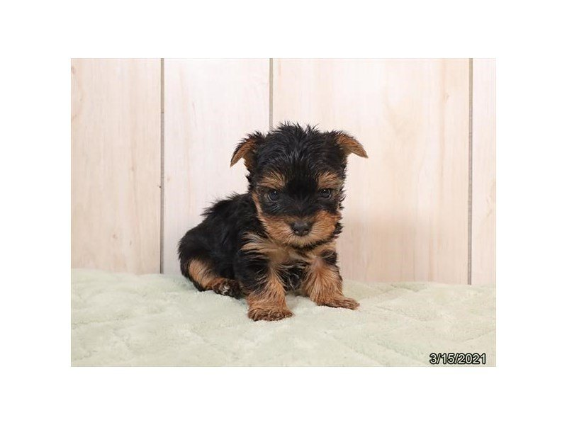 Yorkshire Terrier-DOG-Male-Black / Tan-3120868-Petland Carriage Place