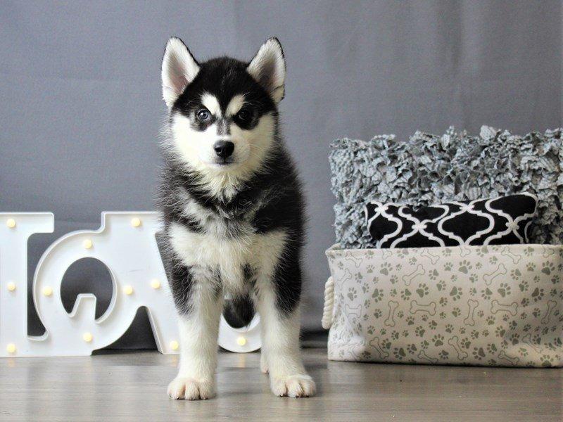 Siberian Husky-DOG-Male-Black / White-3120877-Petland Carriage Place