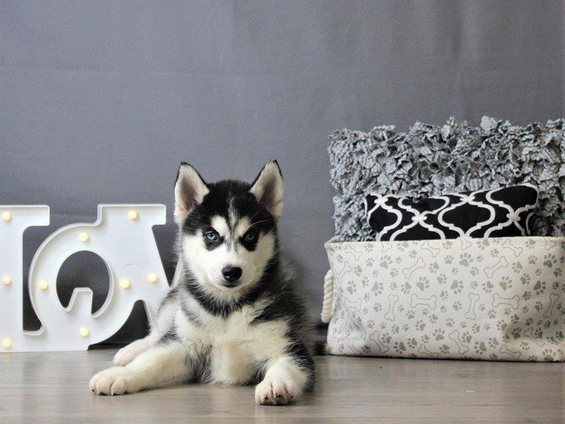 Siberian Husky-DOG-Female-Black / White-3120876-Petland Carriage Place