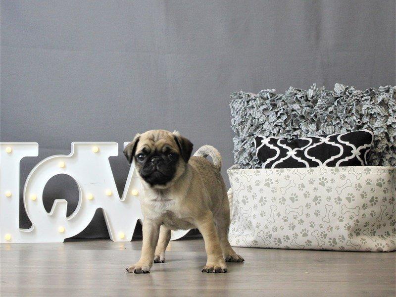 Pug-DOG-Male-Fawn-3120888-Petland Carriage Place
