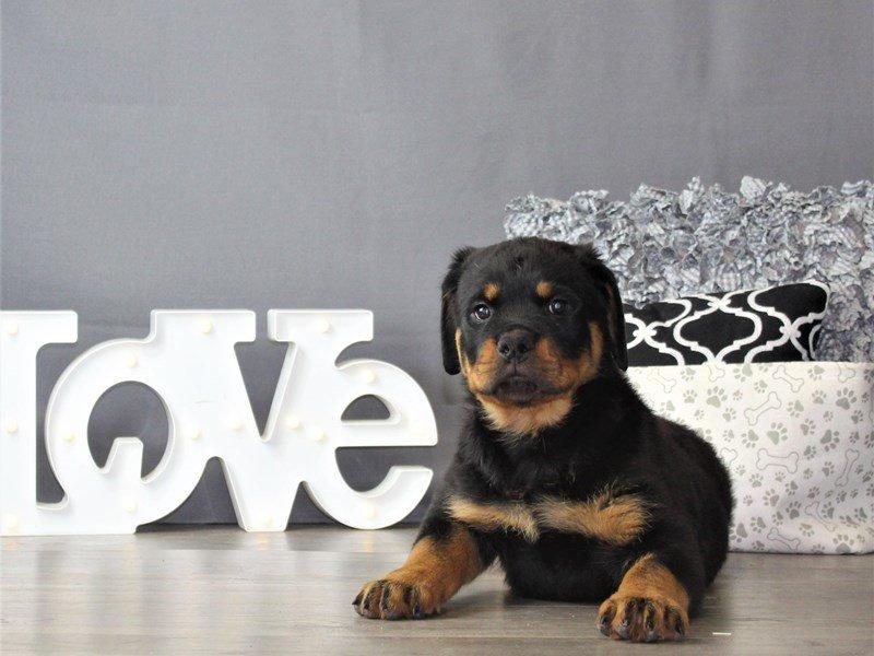 Rottweiler-DOG-Male-Black / Tan-3120872-Petland Carriage Place