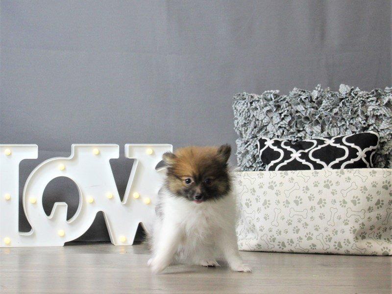 Pomeranian-DOG-Female-Black / Tan-3120865-Petland Carriage Place