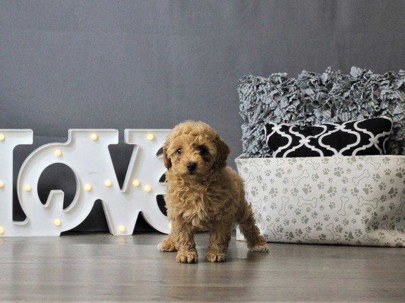 Poodle-DOG-Male-Apricot-3120916-Petland Carriage Place