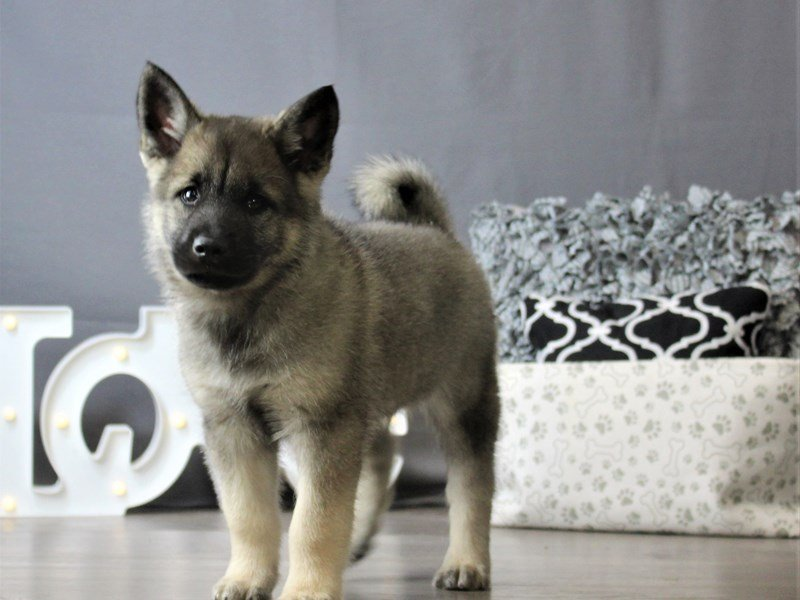 Norwegian Elkhound-Male-Black / Silver-3120871-Petland Carriage Place