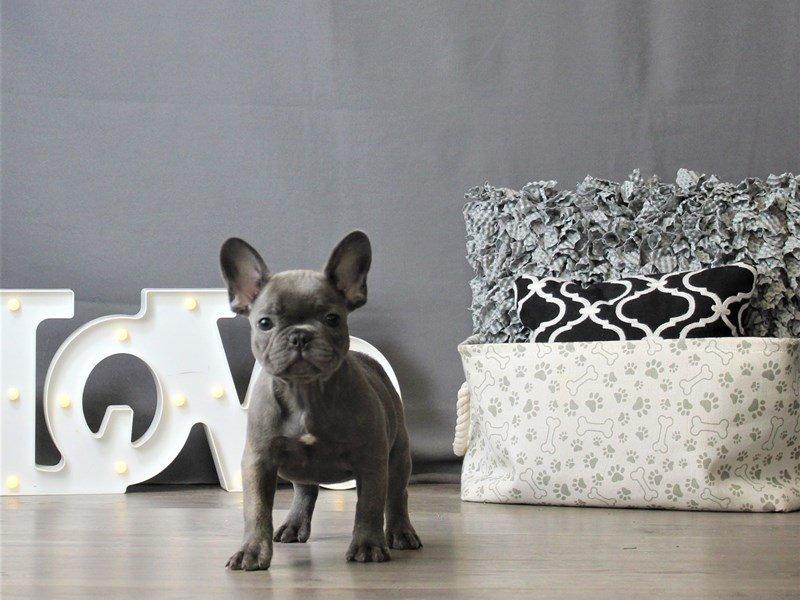 French Bulldog-DOG-Male-Blue-3120883-Petland Carriage Place