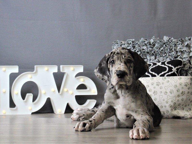 Great Dane-DOG-Female-Blue Merle-3120874-Petland Carriage Place
