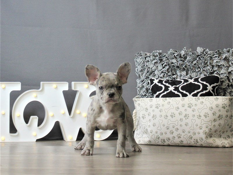 French Bulldog-DOG-Female-Blue Merle-3120882-Petland Carriage Place