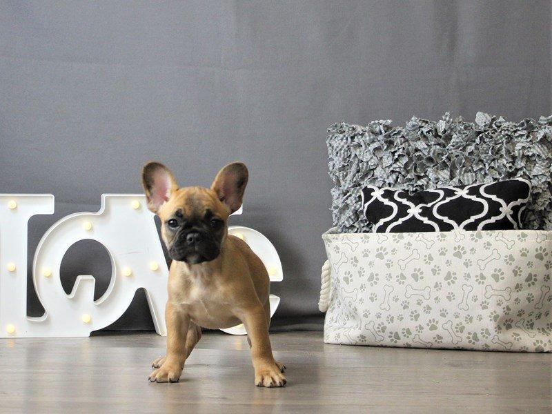 French Bulldog-DOG-Female-Fawn/ Blk msk-3120879-Petland Carriage Place