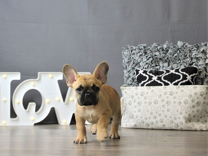 French Bulldog-DOG-Male-Fawn/ Blk msk-3120881-Petland Carriage Place