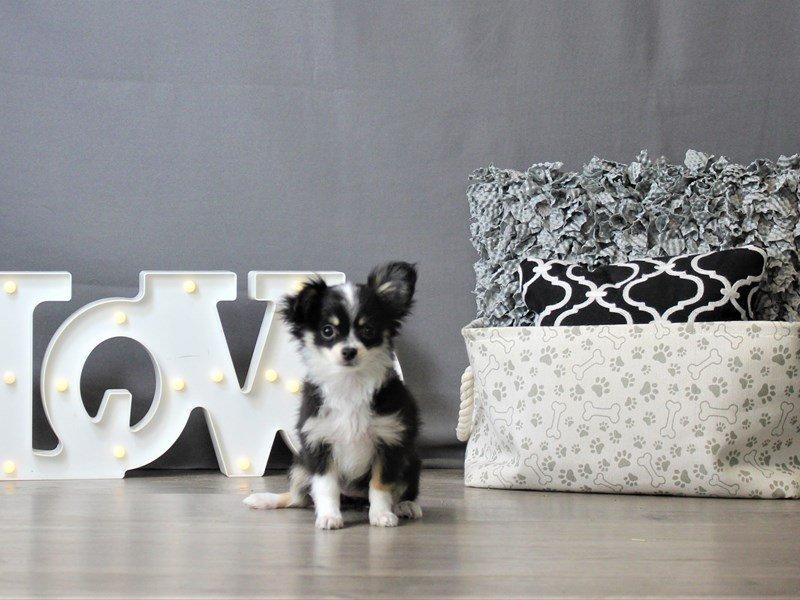 Chihuahua-DOG-Female-Black Tan / White-3120889-Petland Carriage Place